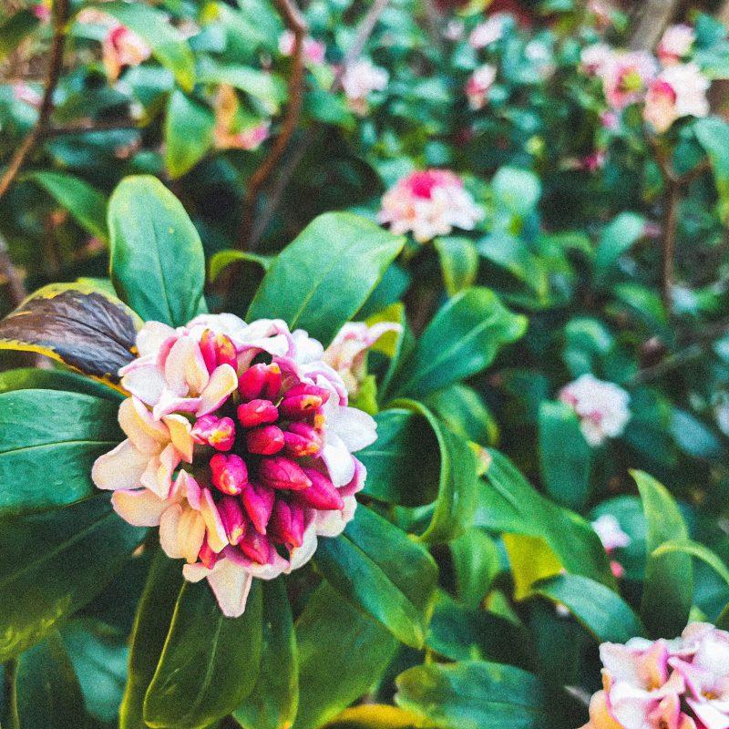 沈丁花咲き始めました。